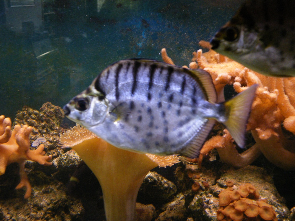 Siver scats daventry free to good home tropical fish for Aiptasia eating fish